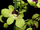 "Дендробиум гибридный (Dendrobium hybr. ""Anna Green  Light"")"