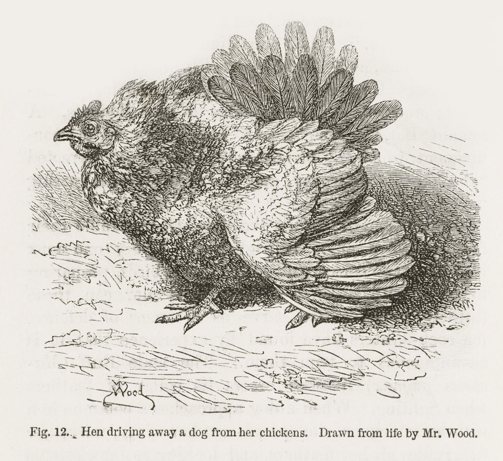 Angry_hen_from_Darwin.jpg