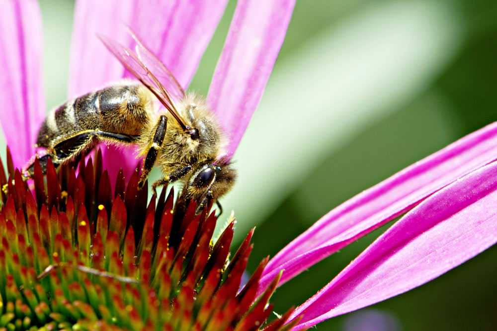 C0177650-Honey_bee-SPL.jpg