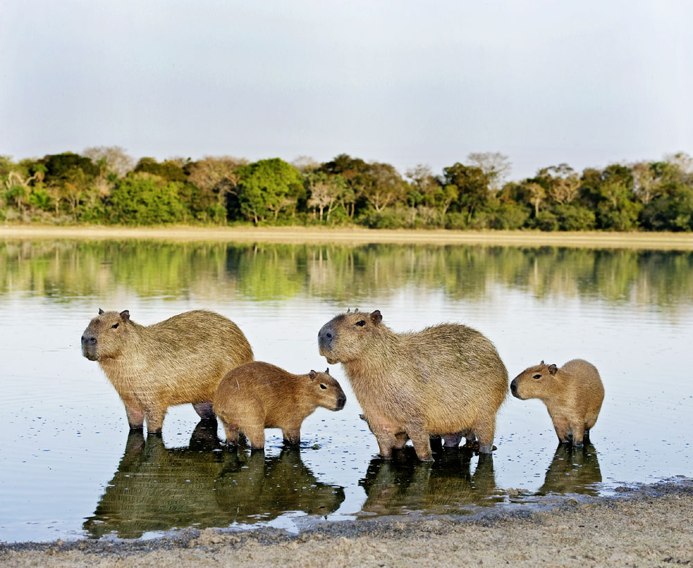 C0102440-Capybara_family-SP.jpg