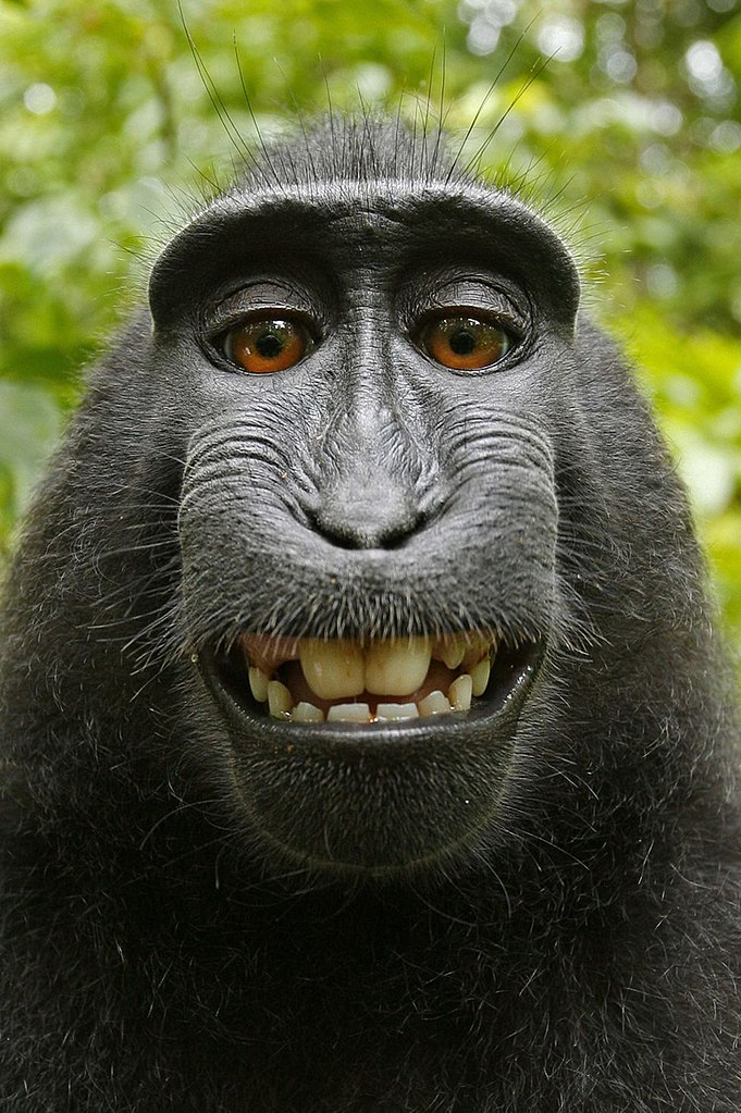 682px-Macaca_nigra_self-portrait_(rotated_and_cropped).jpg